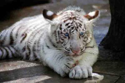 Белые тигры.jpg