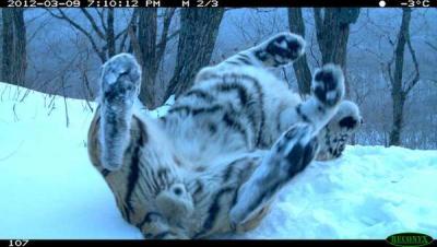 валяется тигр.jpg