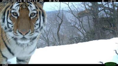 тигр из за угла.jpg
