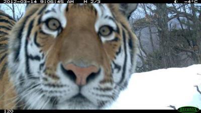 тигр подсматривает.jpg