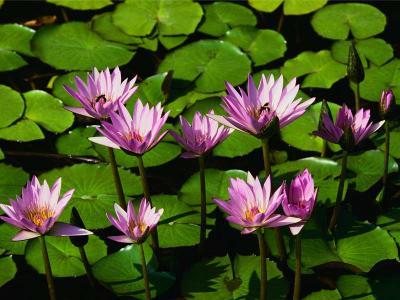 Водяные лилии.jpg