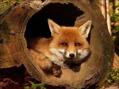 1291718590_fuza.ru_fox-03.jpg
