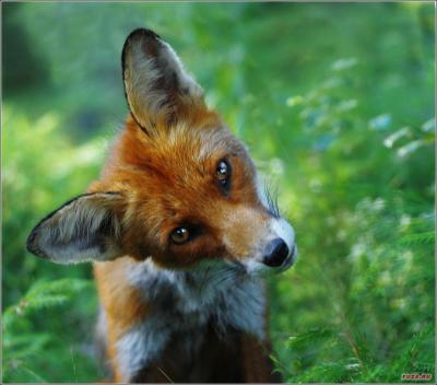 1291718681_fuza.ru_fox-22.jpg