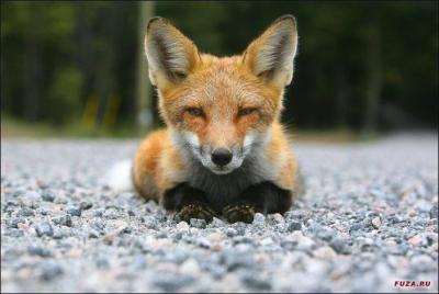 1291718803_fuza.ru_fox-75.jpg