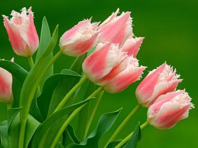 tulips-on-green-1024.jpg