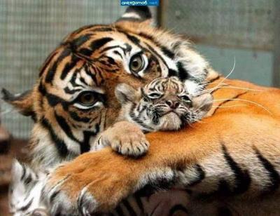 тигр и малыш.jpg