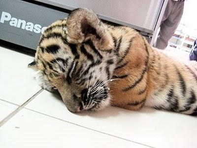 WWF_Live tiger found in luggage2.jpg
