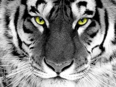 тигр.jpg