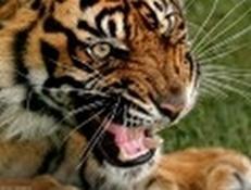 tiger (1020).jpg