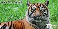 tiger (1027).JPG