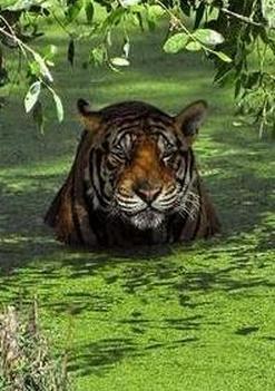 tiger (1080).jpg