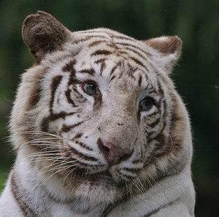 tiger (1030).jpg