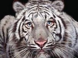 tiger (1023).jpg