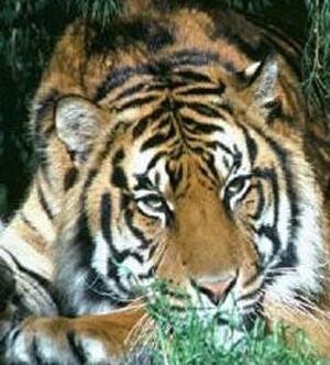 tiger (1031).jpg