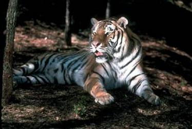 tiger (1026).jpg