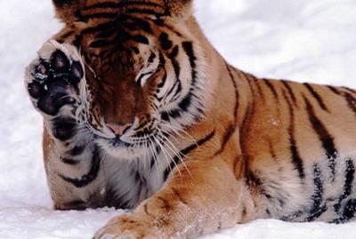 tiger (1044).jpg