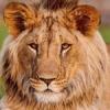 lioncoins
